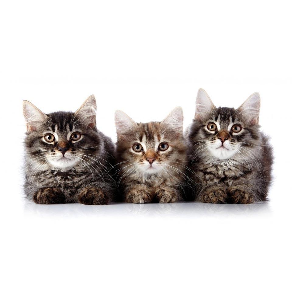 feline-behaviour-and-psychology-diploma-course-1