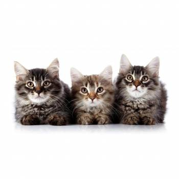Feline Behaviour and Psychology Diploma Course