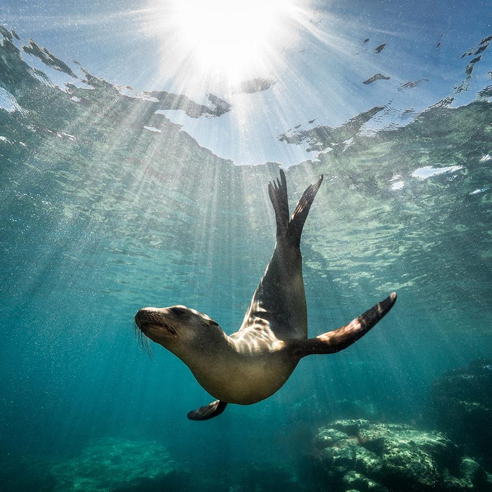 A California sea lion seal underwater enjoying the rays of the sun in Baja, California