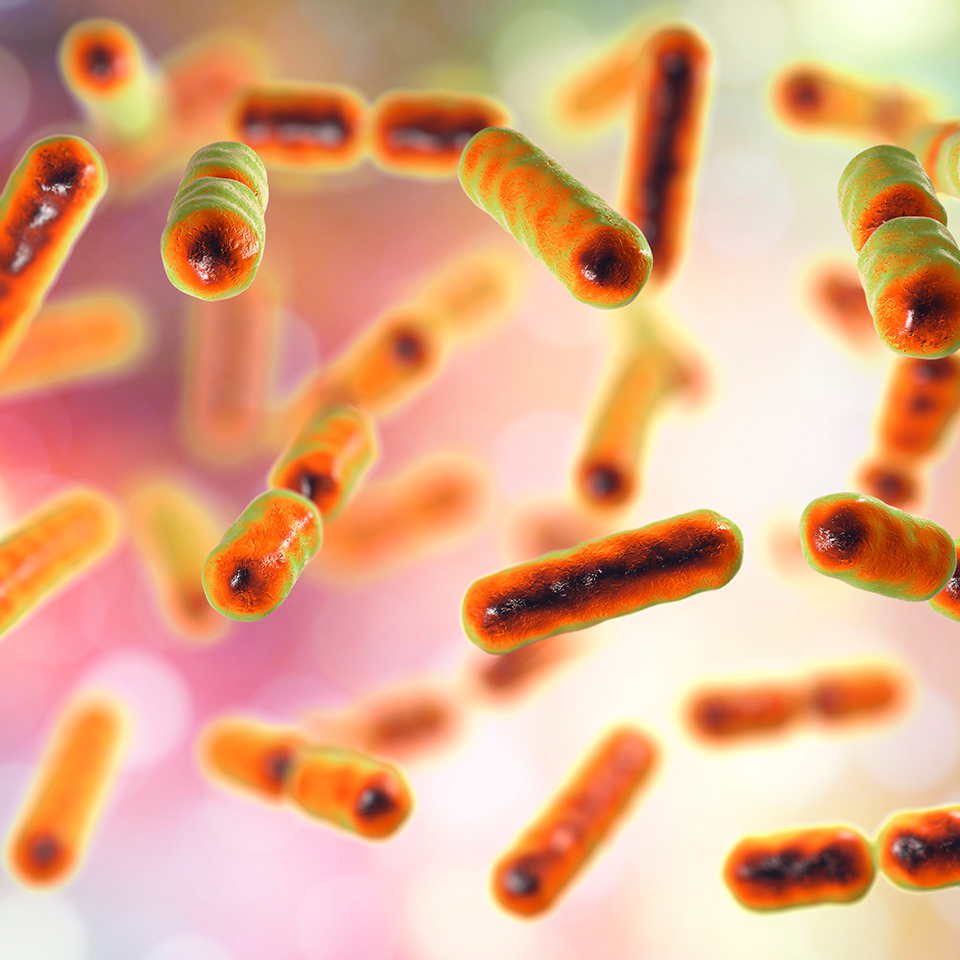 Bacteria Bacteroides fragilis, one of the major components of normal microbiome of human intestine