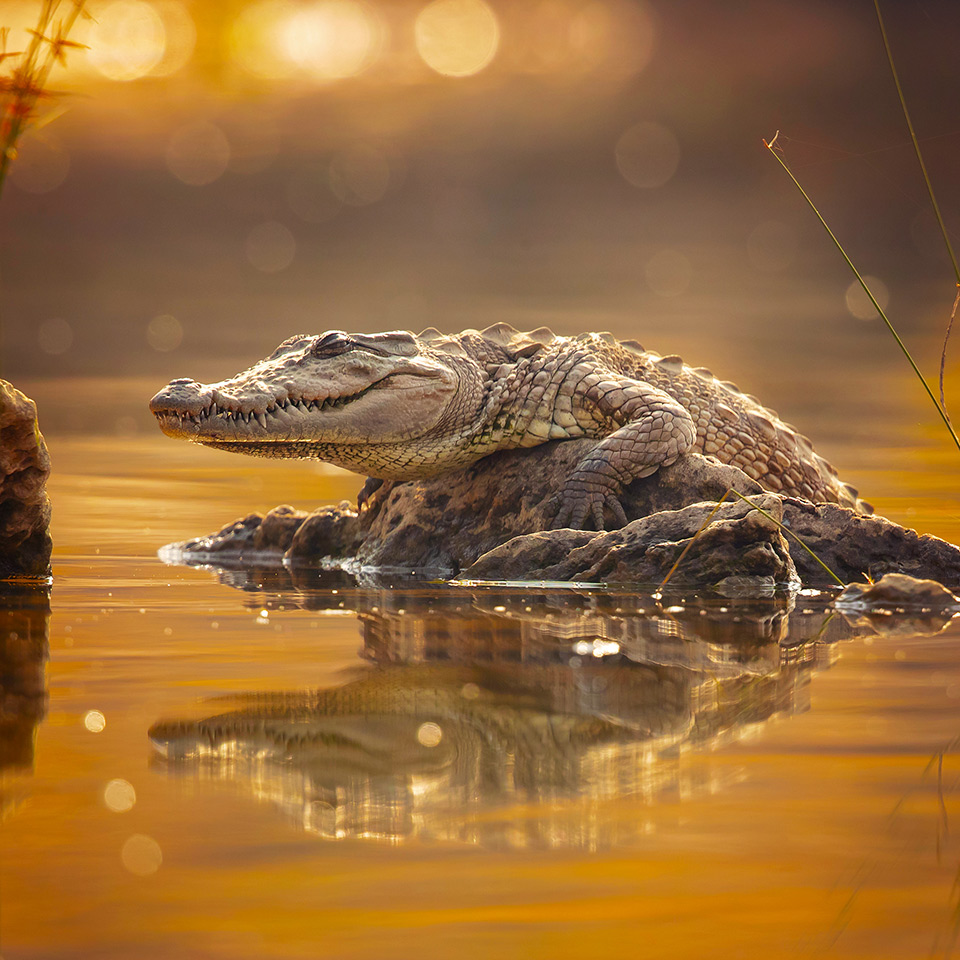 Mugger crocodile stood on a rock in a body of water