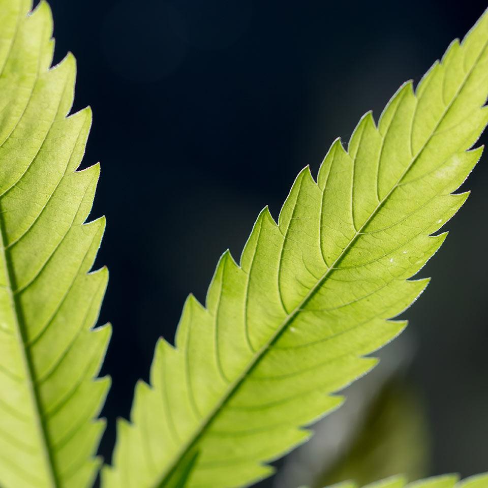 Psychotropic Plants Diploma Course