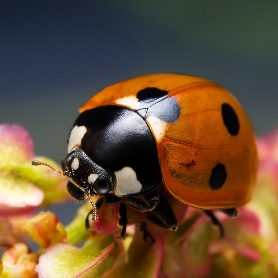 Close up image of a ladybird on a flower