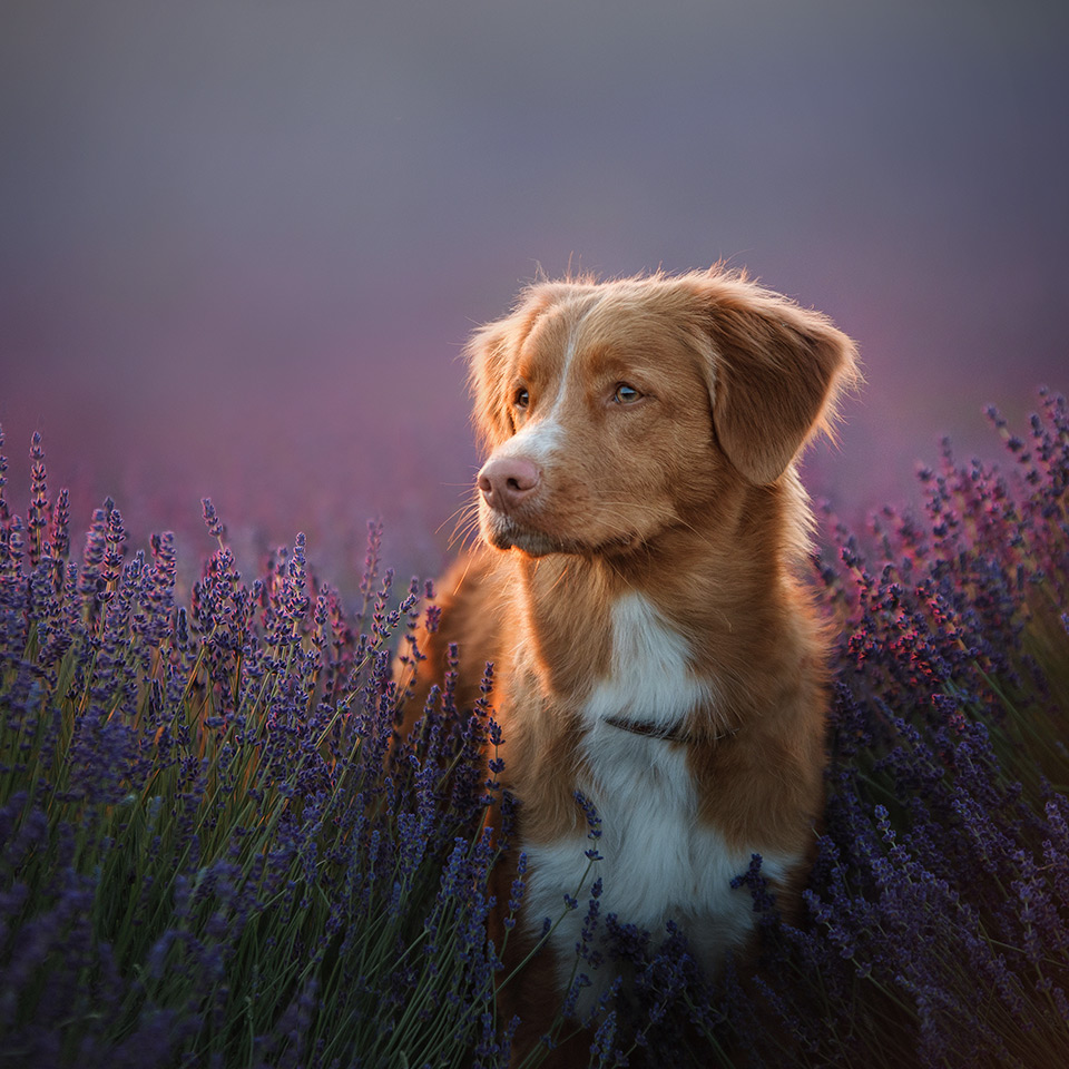 A dog in a lavender field