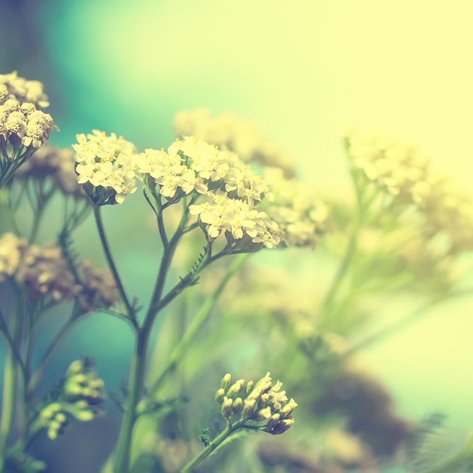 Yarrow flowers in a the sunlight