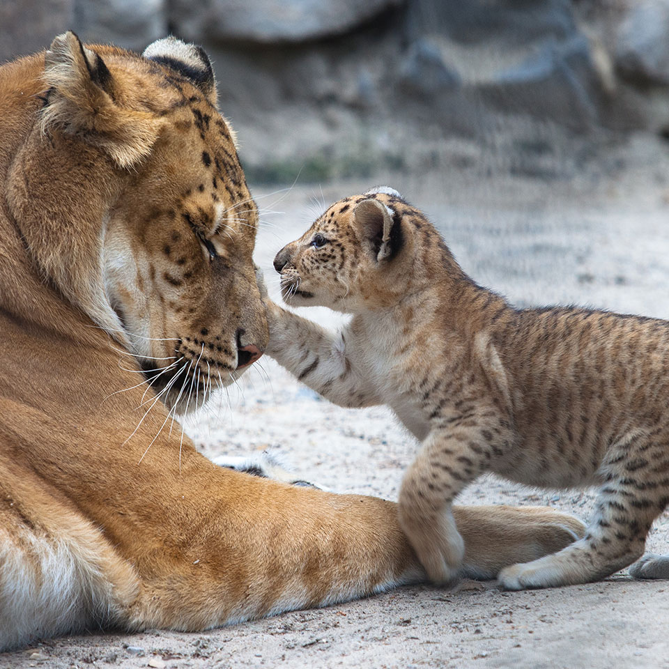 Small tiger cub playing with his mother