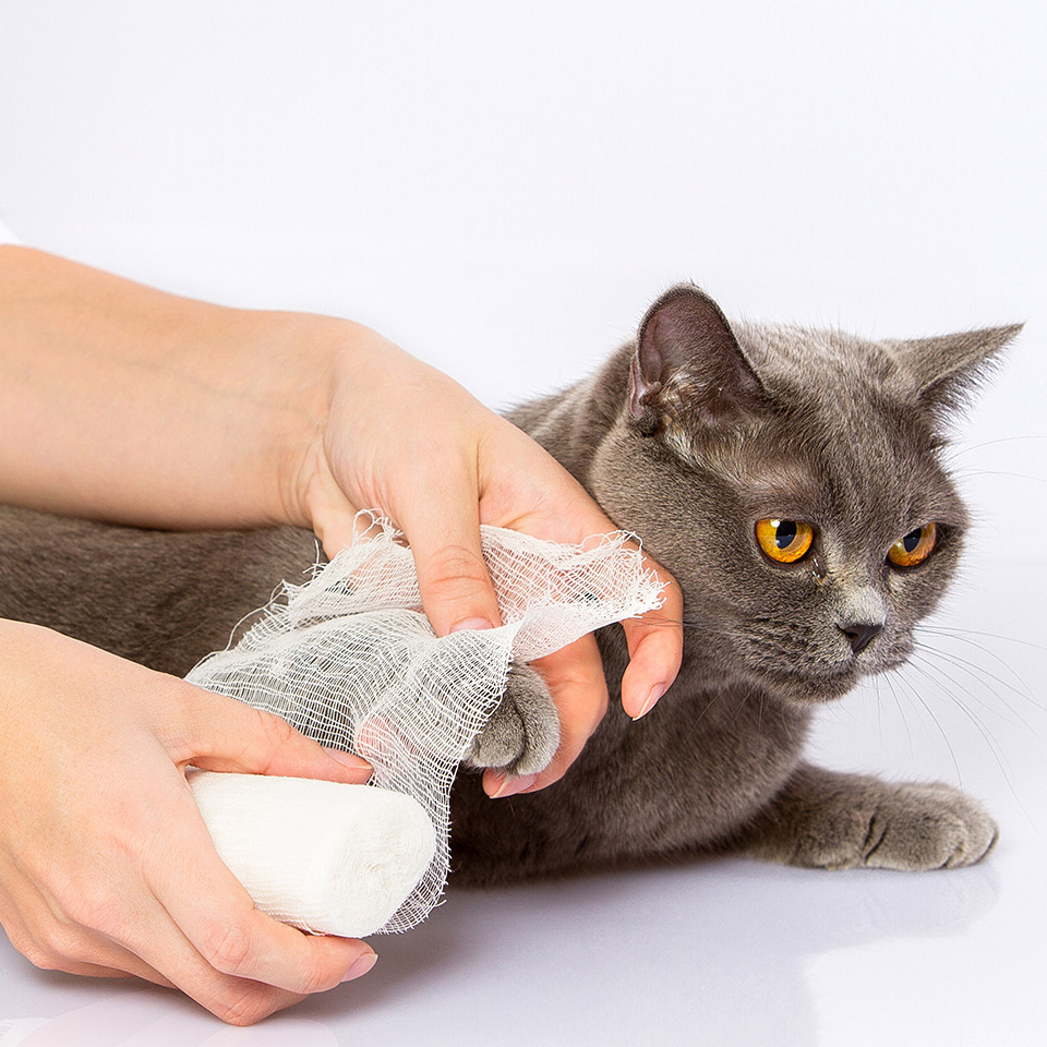Someone apply a bandage to a cat's leg