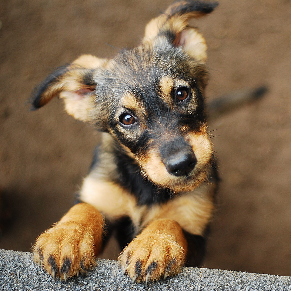 A puppy looking towards the camera. Its front paws are resting on a wall.