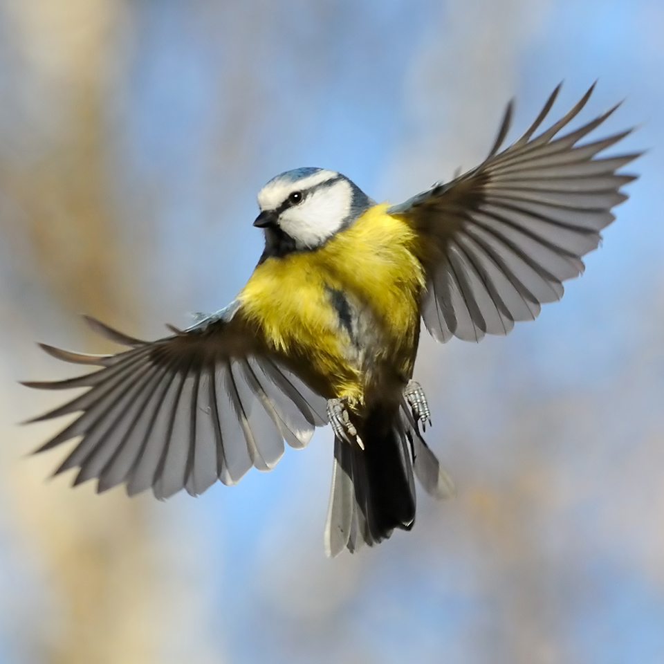 Frontal view of a flying Blue Tit bird