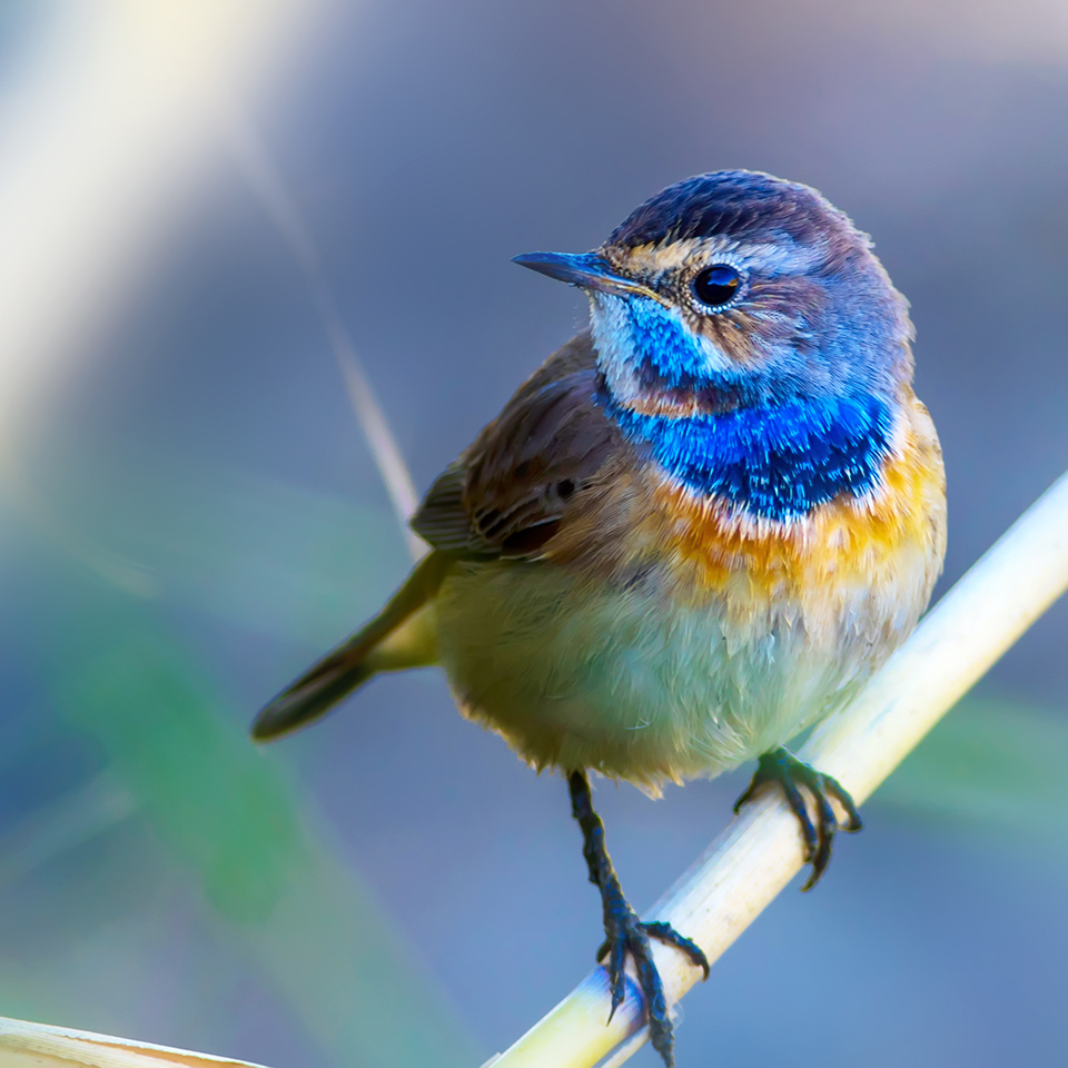 Bluethroat bird perched on a branch