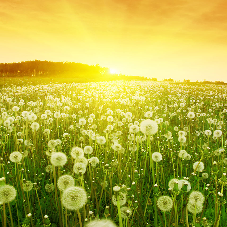 Dandelions in a meadow during sunset